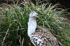 Kori Bustard (Ardeotis kori). The Kori Bustard (Ardeotis kori) lives in Africa's savannas royalty free stock photo