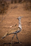 Kori Bustard Ardeotis-kori die door Savanne, Zuid-Afrika lopen Royalty-vrije Stock Afbeelding