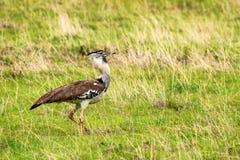 Kori bustard or Ardeotis kori. The largest flying bird Royalty Free Stock Images