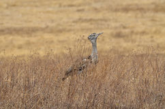 Kori Bustard-Ardeotis Kori Royalty Free Stock Photo