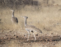 Kori Bustard (Ardeotis kori) on the Plains of Africa Stock Photo