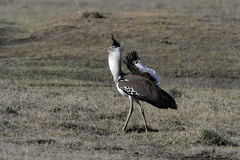 Kori bustard, Ardeotis kori Royalty Free Stock Photo