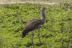 Kori Bustard  Ardeotis kori Stock Photos