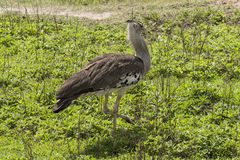Kori Bustard  Ardeotis kori Royalty Free Stock Photos