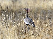 The Kori Bustard. (Ardeotis kori) is a large bird native to Africa Stock Photos