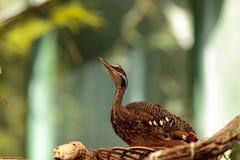 Kori bustard bird, Ardeotis kori Stock Images