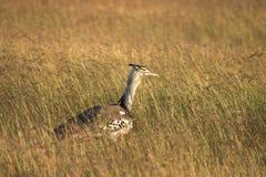 Kori bustard bird in Kenya masai mara grass land Royalty Free Stock Image