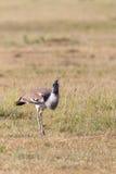 Kori bustard bird Stock Images