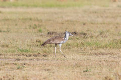 Kori bustard bird at the savanna Royalty Free Stock Image