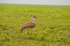 Kori Bustard Bird in the Serengeti Stock Photo