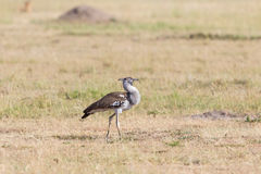 Kori bustard bird Royalty Free Stock Photography