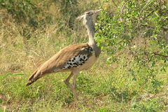 Kori Bustard. The bird was in the Kruger Park aside the road Royalty Free Stock Photography