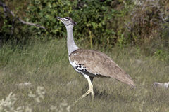 Kori Bustard. In the Chobe Nationwide park in Botswana Royalty Free Stock Photo