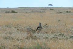 Kori bustard. A couple of Kori Bustard & x28;Ardeotis kori& x29; walking in the grasslands of Etosha in Namibia, Africa Royalty Free Stock Images