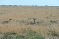 Kori bustard. A couple of Kori Bustard & x28;Ardeotis kori& x29; walking in the grasslands of Etosha in Namibia, Africa Royalty Free Stock Photo