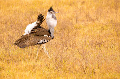 Kori Bustard in cratere di Ngorongoro Immagine Stock