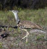 Kori Bustard (den Ardeotis korien) - Namibia Royaltyfria Foton