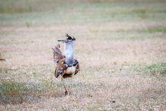 Kori bustard displaying in the grass. Stock Photo