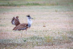 Kori bustard displaying in the grass. Royalty Free Stock Image