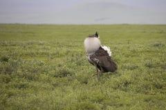 Kori bustard displaying mating plumage, Ngorongoro Crater, Tanza. Kori bustard displaying mating plumage in Ngorongoro Crater, Tanzania, Africa Stock Image