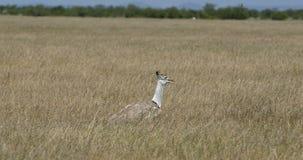 Kori Bustard en el arbusto africano, ?frica, Namibia almacen de video