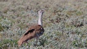 Kori Bustard en el parque nacional de Etosha Foto de archivo libre de regalías