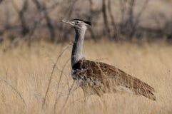 Kori bustard, etosha nationalpark, namibia Stock Photos
