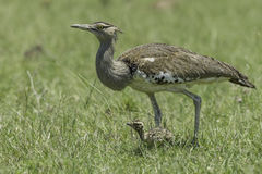 Kori Bustard, Female Walking With Chick. Kori Bustards used to be more common than now, but agriculture has made them less so. Most are seen in Kenya's National Stock Image
