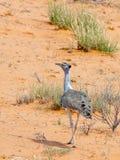 Kori Bustard fotografió en el parque nacional internacional de Kgalagadi entre Suráfrica, Namibia, y Botswana Fotografía de archivo libre de regalías