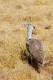 Kori Bustard. The heaviest flying bird located in the savannah Stock Images