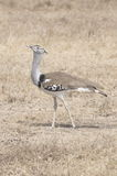 Kori Bustard. The heaviest flying bird located in the savannah stock photos
