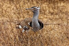 Kori bustard, the heaviest flying bird Stock Photos
