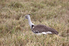 Kori Bustard Hen. Adult female kori bustard looking for insects in the Ngorongoro Crater, Tanzania Stock Image