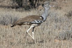 Kori bustard in the Kgalagadi Royalty Free Stock Photography