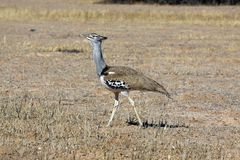 Kori bustard in the Kgalagadi Royalty Free Stock Image