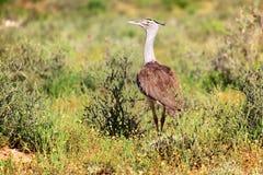 A kori bustard at kgalagadi transfrontier national park Stock Images