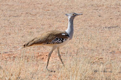 A Kori Bustard in the Kgalagadi Transfrontier Park, South Africa Stock Photography