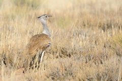 Kori Bustard. In the Kgalagadi Transfrontier Park, South Africa. It is the biggest bird capable of flying Stock Photos