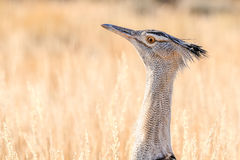 A Kori Bustard in the Kgalagadi. Kori Bustard in the Kgalagadi Transfrontier Park, South Africa. It is the biggest bird capable of flying Stock Images