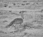 Kori Bustard. A Kori Bustard walking  in Namibian savanna Royalty Free Stock Photography