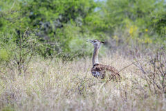Kori bustard in Kruger National park, South Africa Stock Photography