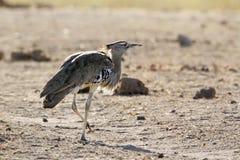 Kori bustard in Kruger National park Royalty Free Stock Photo