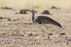 Kori bustard in Kruger National park Stock Photos