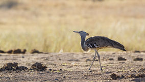 Kori bustard in Kruger National park Royalty Free Stock Photography