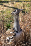 Kori Bustard Washington DC Stock Photography