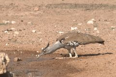 Kori Bustard. This large and heavy bird had an unusual way of bending it& x27;s legs to enable it to drink at a waterhole Royalty Free Stock Photography