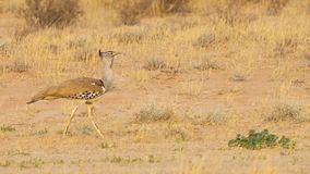 Kori Bustard. A Kori Bustard, the largest flying bird in Africa, in the Kgalagadi Transfrontier Park straddling South Africa and Botswana Stock Images