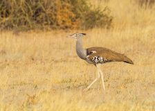 Kori Bustard. A Kori Bustard, the largest flying bird in Africa,  in the Kgalagadi Transfrontier Park straddling South Africa and Botswana Royalty Free Stock Photo