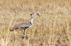 Kori Bustard lunch Stock Images