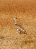Kori Bustard, Masai Mara Stock Photos